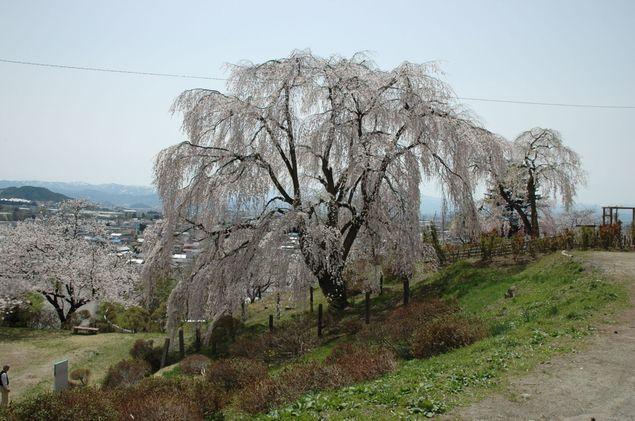 南陽市 双松公園 桜