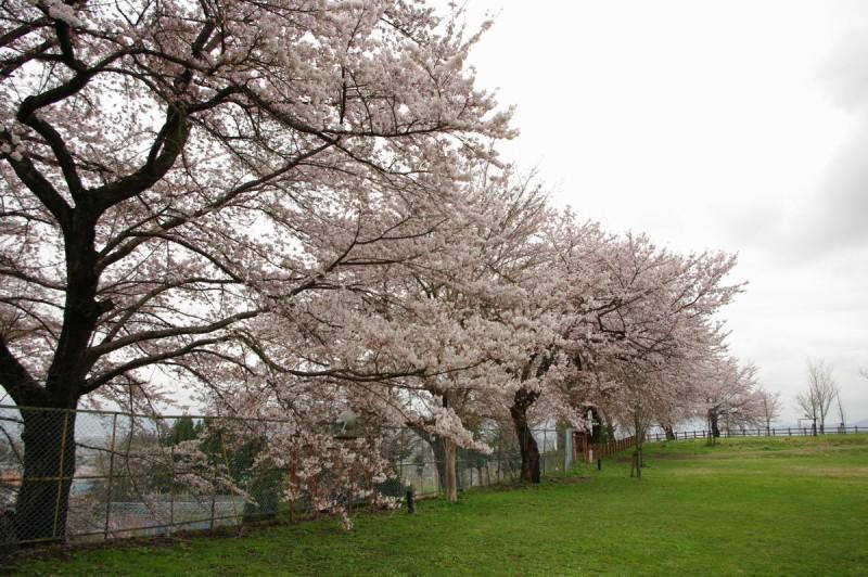 山辺町 大寺ふれあい公園 桜