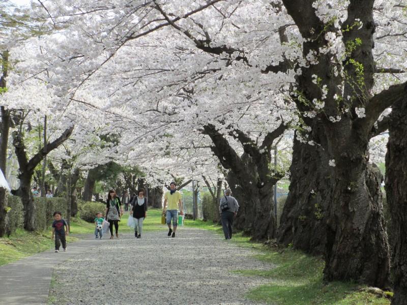 上山市 みゆき公園 桜