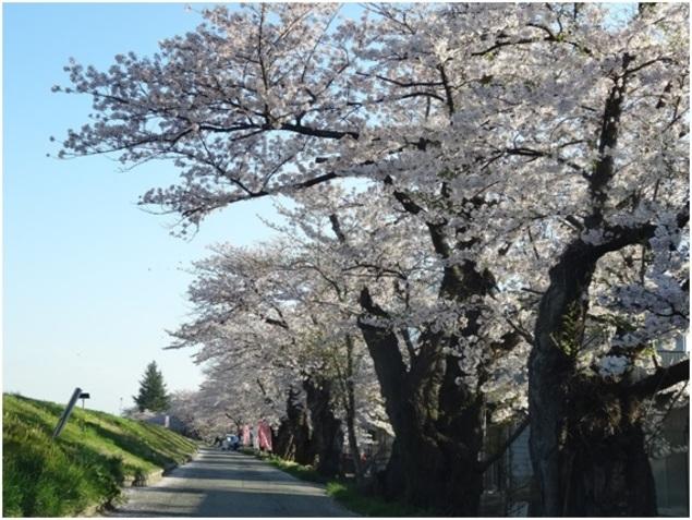 長井市 最上川堤防千本桜 桜