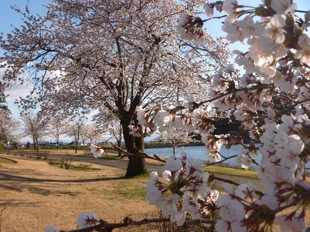 村山市 東沢公園 桜