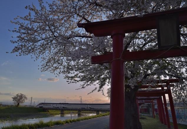 東根市 白水川堤防桜並木 桜