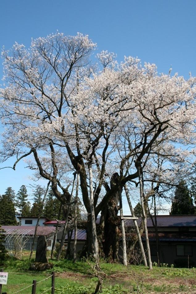 長井市 草岡の大明神桜 桜