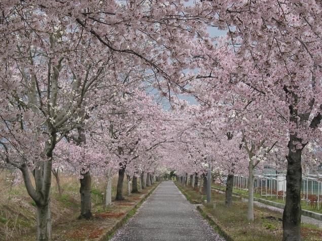 高畠町 まほろばの緑道 桜