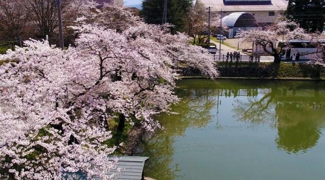 新庄市 最上公園 桜