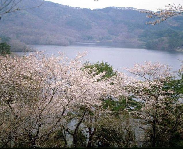 鶴岡市 大山公園 桜