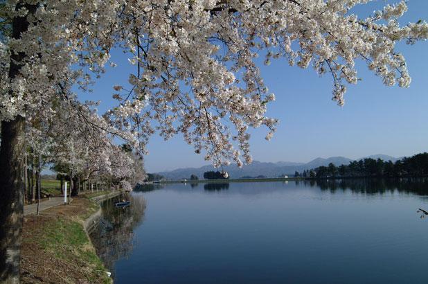 尾花沢市 徳良湖 桜