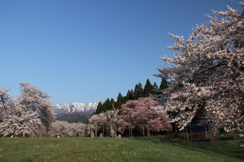 白鷹町 釜ノ越サクラ 桜