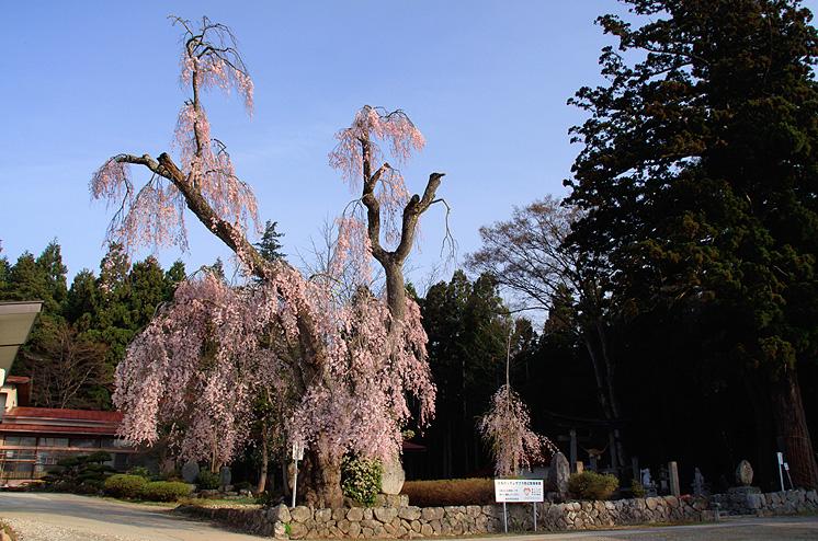 長井市 白兎のしだれ桜 桜