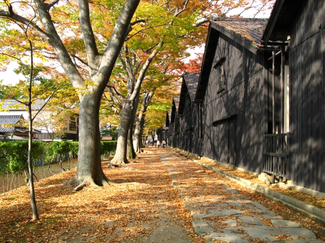 山居倉庫 ケヤキ並木 紅葉