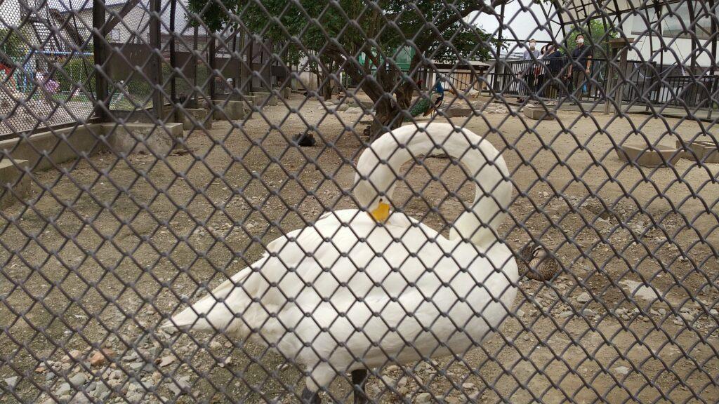 河北町児童動物園 白鳥