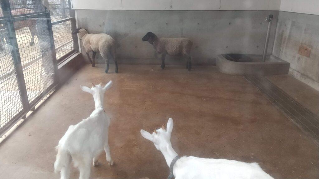 河北町児童動物園 ヤギ ヒツジ